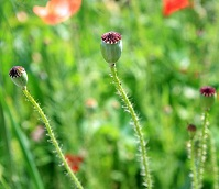 Afghan Geography - Poppy plant
