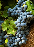 Argentine Geography - Grapes in Mendoza