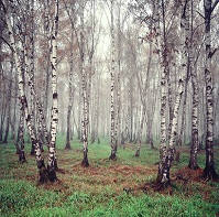 Belarusian Geography - Birch trees