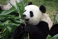 Chinese Wildlife - Giant Panda