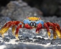 Ecuadorian Geography - Red rock crab