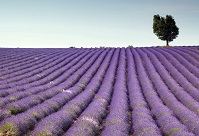 French Geography - Lavender field