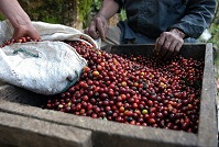 Guatemalan Food - Coffee beans
