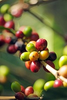 Honduran Food - Coffee beans