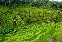 Indonesian Geography - Rice fields