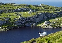 Irish Geography - Sheep on a cliff