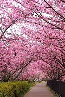 Japanese Geography - Cherry Blossoms