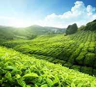 Malay Geography - Tea plantation