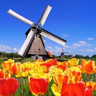 Dutch Geography - Tulips and a windmill