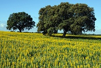 Portuguese Geography - Trees in a field