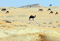 Qatari Geography - Camels in the desert