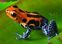 Amazon Wildlife - Poison dart frog