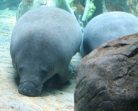 Panamanian Wildlife - Manatee