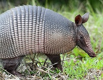 Surinamese Wildlife - Armadillo