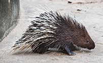 Colombian Wildlife - Porcupine