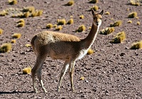 Colombian Wildlife - Vicuna
