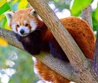 Bhutanese Wildlife - Red panda