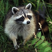 Canadian Wildlife - Racoon