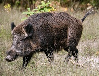 Latvian Wildlife - Wild boar