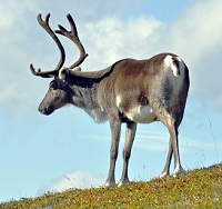 Swedish Wildlife - Reindeer