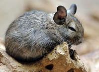 Uruguayan Wildlife - Chinchilla