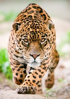 Surinamese Wildlife - Jaguar