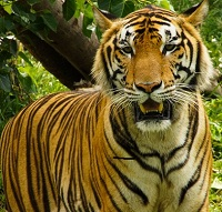 Bangladeshi Wildlife - Tiger