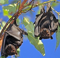 Samoan Wildlife - Flying foxes