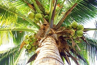 Marshalese Wildlife - Coconut tree