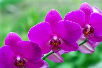Micronesian Wildlife - Orchids