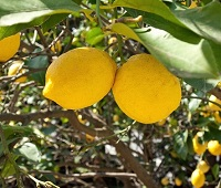 Myanmarese Wildlife - Lemons may have have originated in Myanmar