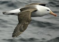Chilean Wildlife - Albatross