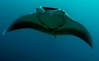 Antiguan & Barbudan Wildlife - Manta ray