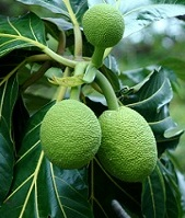 Samoan Wildlife - Breadfruit tree