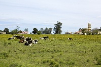 Uruguayan Geography - Cattle