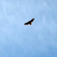 American Wildlife - Eagle