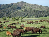 American Wildlife - Bison